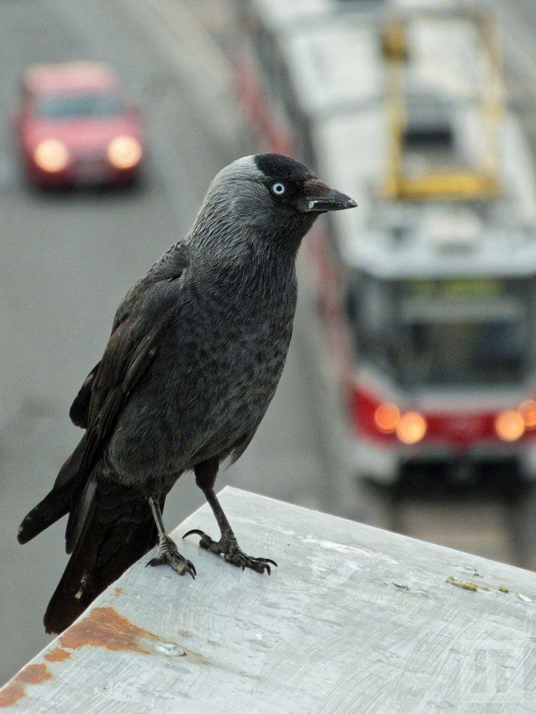 Kavka obecná (Corvus monedula)