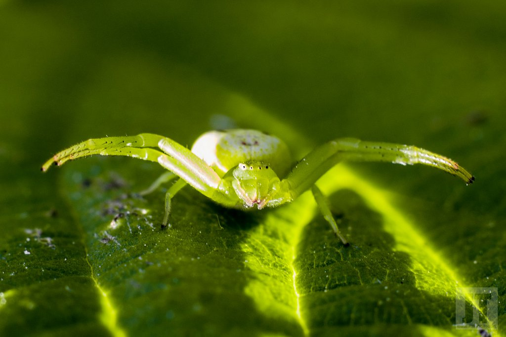 Běžník zelený Diaea dorsata)