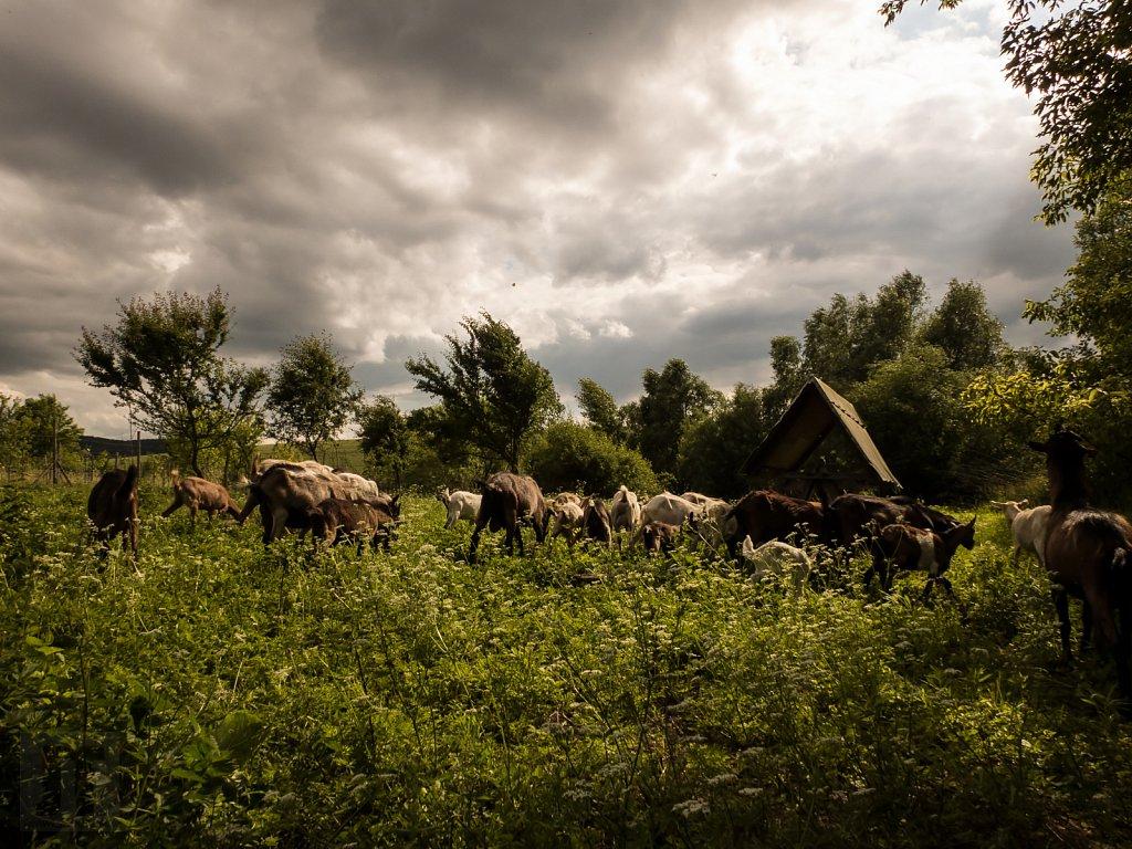 Hostina pro kozy