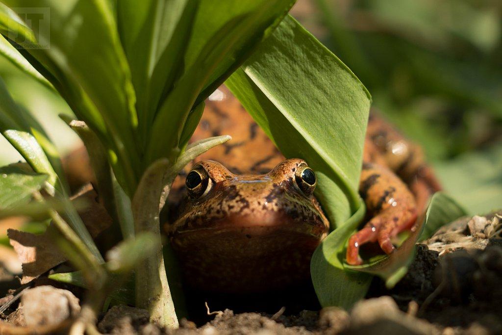 Žába na česneku I.